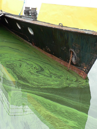 Lubmin (GERMANY): blue-green algae in the harbour of Lubmin